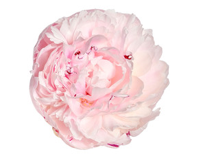 Gentle pink with creamy peony flower with fluffy, frilly petals close up, isolated on white background. Romantic floral pattern
