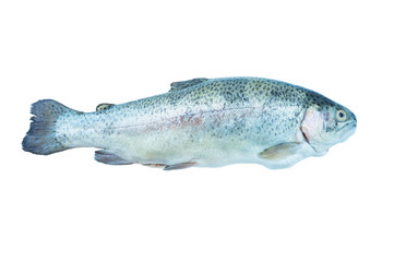 Fish rainbow trout, isolated on a white background. Rainbow trout over white background. Fish with copy space for text.