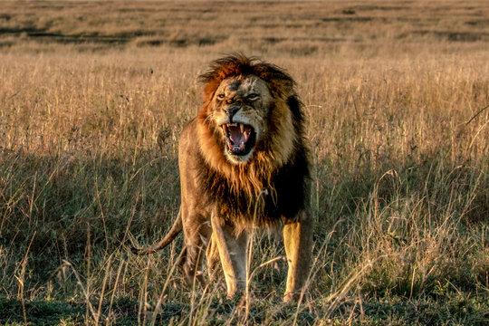 Lion roaring on grassy landscape