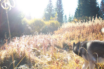 The Siberian Husky travels to the Ukrainian Carpathians. Mountain Range. Black and white dog Cute Husky