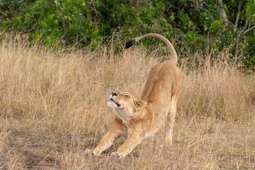 Portrait of a lioness stretching, Masai Mara, Kenya