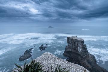 Gannet Colony Neuseeland
