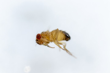 Study genetic of Drosophila melanogaster (fruit fly, vinegar fly) for education in laboratory.