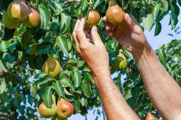 An elderly man is engaged in harvesting pears in a hot summer day.