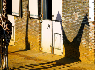 A pair of giraffes cast a shadow at London Zoo in London