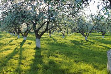 blooming apple garden  / spring background