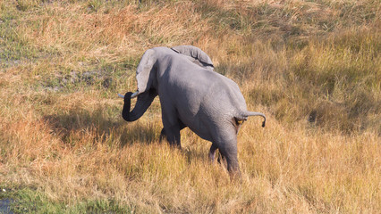 Elephant in the Okavango delta (Botswana)