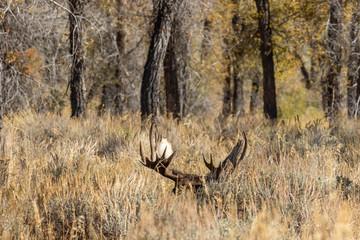 Bull Shiras Moose in Autumn in Wyoming