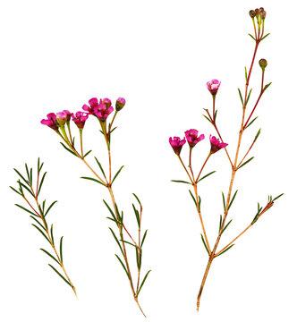 Set of chamelaucium flowers