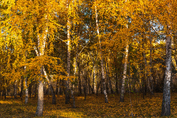 Beautiful birch trunks with gold leaves in woodland