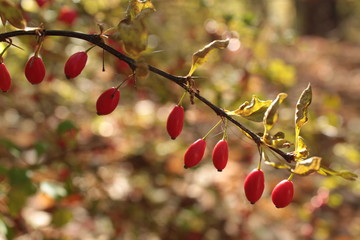 Curved Barberry Thorn Bush Branch With Vibrant Red Berries and Soft Background