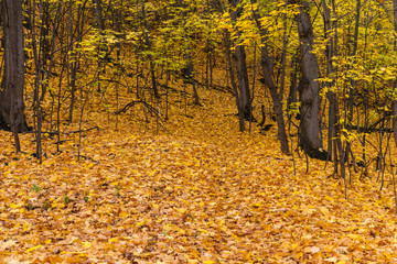 Land in the forest covered with autumn yellow leaves