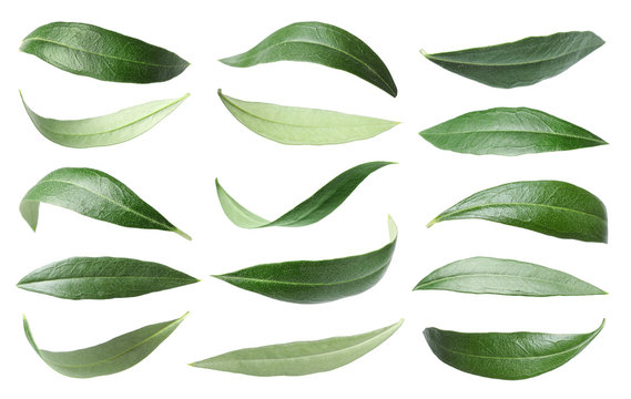 Set with green olive leaves on white background