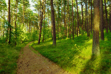 Dirt road or path through evergreen coniferous pine forest. Pinewood with Scots or Scotch pine Pinus sylvestris trees growing in Pomerania, Poland.