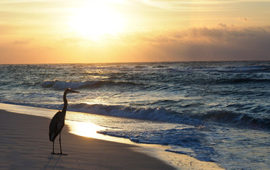 Wall Mural - Great Blue Heron Looking Off Shore as the Sun Rises on a Florida Beach