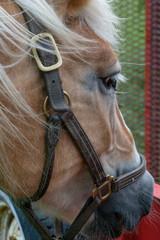 Horse Palomino Close up profile head