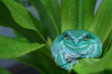 White's Tree frog or Smiling Frog sitting on wet green plant background. This animal found in Papua New Guinea and North Australia. It's the one in most popular beginner exotic pet.
