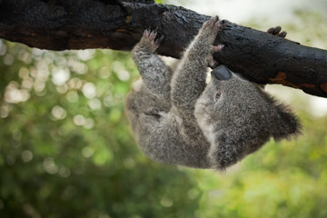 A cute baby koala bear hanging from a tree, Queensland, Australia.