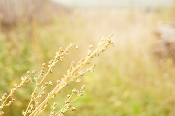 Yellow grass in the field