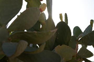 Cactus against sun