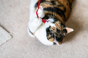 Closeup of playful calico cat, lying on side, playing with red stripe toy in living room, house, home on carpet floor, biting, catching, holding with paws above