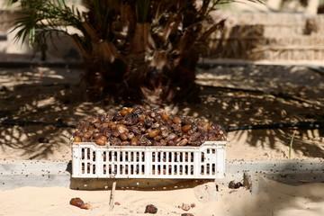 Palm date tree harvest in Tolga, Biskra, Algeria