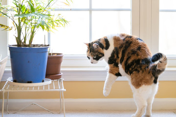 Calico cat coming, climbing down, walking, standing, from window, windowsill, sill with bright natural light in home, house living room, potted green plants pots, carpet floor