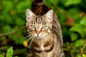 American Bobtail Shorthair Katze im Unterholz auf der Jagd