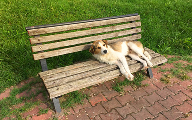 Cute Lazy Dog Laying on the Bench