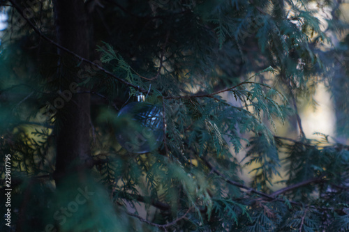 New Years Foliage >> New Year S Eve Ball In The Foliage Of Thuja Stock Photo And Royalty