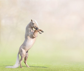 Fototapete - Palomino American Miniature Horse rearing with space for text.