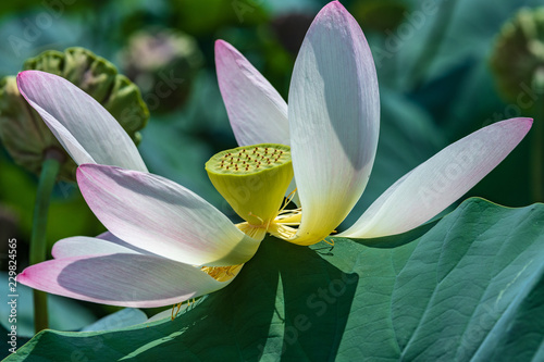 Lotus Flower Nelumbo Nucifera Blooming In A Pond With A Green Seed