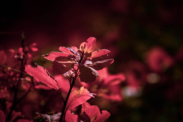 red leaves of a bush in the warm autumn sun