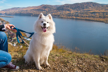 Portrait of white Samoyed dog on a background of river and hills