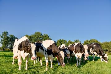 Fototapete - Kuriose Formation von Kühe auf der Weide im warmen Sonnenlicht des späten Nachmittags