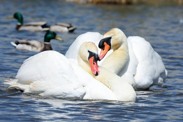 Mute swans performing a  courting ritual
