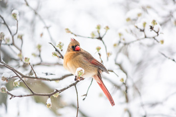 Puffed up angry one female red northern cardinal, Cardinalis, bird sitting perched on tree branch during heavy winter in Virginia, snow flakes falling
