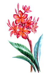 Tropical flower Plumeria(frangipani), watercolor painting on white background, isolated.
