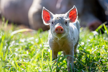A curious little piglet has the sun behind him, lighting up his ears, in a field on a free range pig farm in New Zealand