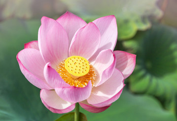 Lotus Flowers Photos Royalty Free Images Graphics Vectors