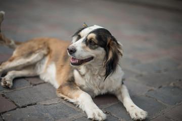 Brown and white stray dog at Cusco, Peru.