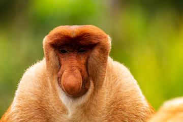 Deurstickers Aap Portrait of a wild Proboscis Monkey in the rainforest of Borneo