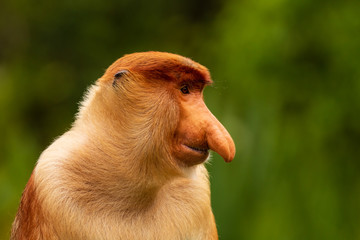 Portrait of a wild Proboscis Monkey in the rainforest of Borneo