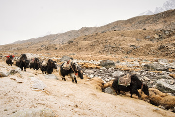 Yaks on their way down Everest mountain