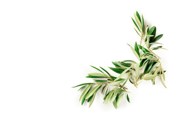 An overhead photo of a flourish of olive tree branches with copy space, a border, shot from the top on a white background with a place for text