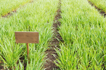young wheat sprouts on farmland, outdoors, there is a sign for the inscription, close-up shot, concept