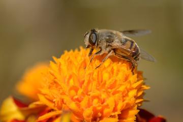 Aluminium Prints Bee European hoverfly feeding on flower. Selective focus.
