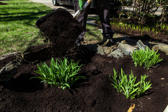 Man is spreading black soil around green shrubs using a shovel as part of a landscaping project.