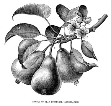 Branch of pear botanical vintage engraving illustration isolated on white background