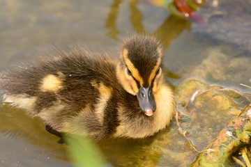 Close up of a mallard duckling (anas platyrhynchos) in the water